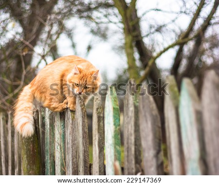 Fluffy ginger tabby cat walking on old wooden fence   - stock photo