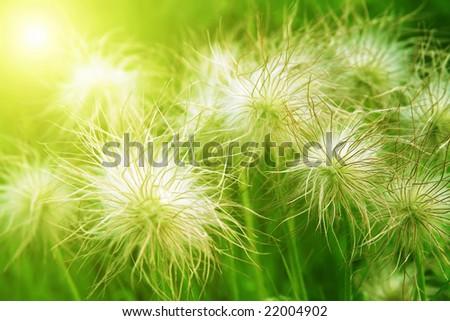 fluffy grass - stock photo
