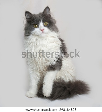 Fluffy gray and white kitten sitting on gray background