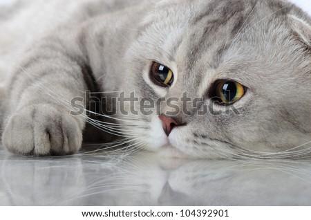 fluffy gray beautiful adult cat, breed scottish-fold, very  close up  portrait - stock photo