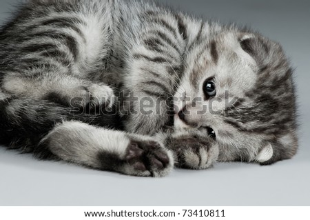 fluffy gray beautiful kitten, breed scottish-fold,  closeup  portrait  on grey  background - stock photo