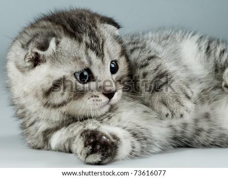 fluffy gray beautiful kitten, breed scottish-fold,  closeup  portrait  on grey-blue  background ,  look stare - stock photo