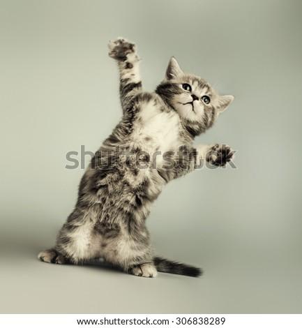 fluffy gray beautiful  kitten, breed scottish-straight,  play upright  on grey-blue background   - stock photo