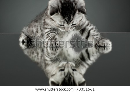 fluffy gray beautiful  kitten, breed scottish-straight,  stay on glass mirror,   on grey background  , look on himself