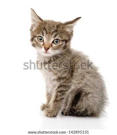 fluffy gray beautiful kitten. isolated on white background