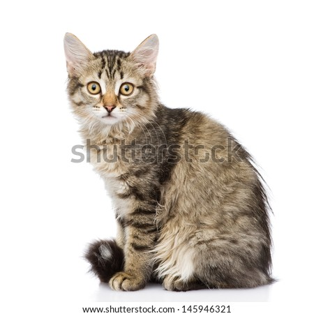 fluffy gray beautiful kitten. isolated on white background  - stock photo