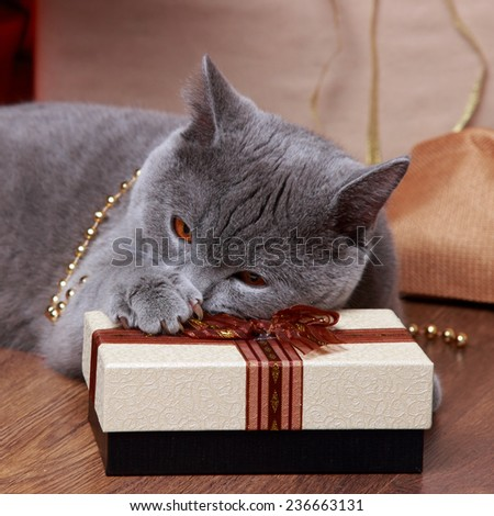 Fluffy gray british cat with Christmas gift son Holiday theme - stock photo