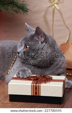 Fluffy gray british cat with Christmas giftson Holiday theme - stock photo