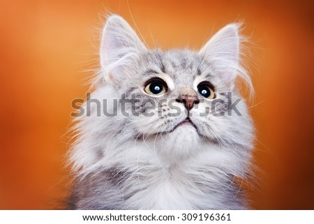 Fluffy gray cat looking up on a brown background - stock photo