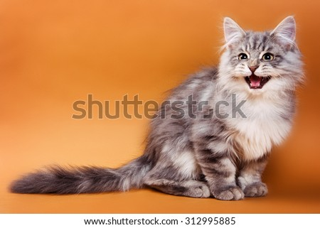 Fluffy gray cat sits and meows on a brown background