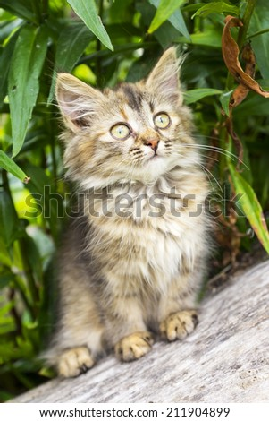 fluffy gray kitten - stock photo