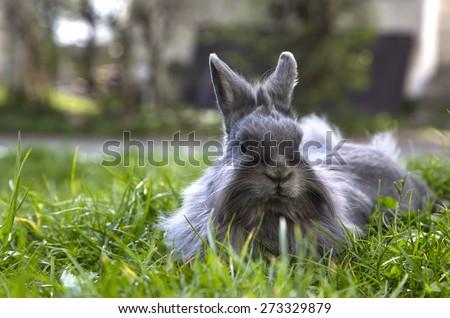 fluffy gray rabbit on the grass - stock photo