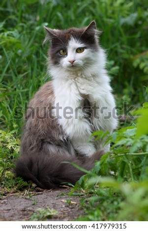 Fluffy gray-white cat on the grass