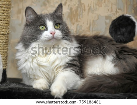 Fluffy White And Grey Cat Fluffy Gray Whi...