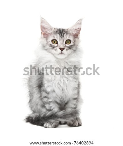 Fluffy grey kitten isolated on white background