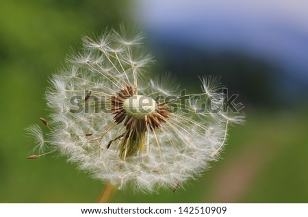 fluffy head of withered dandelion - stock photo