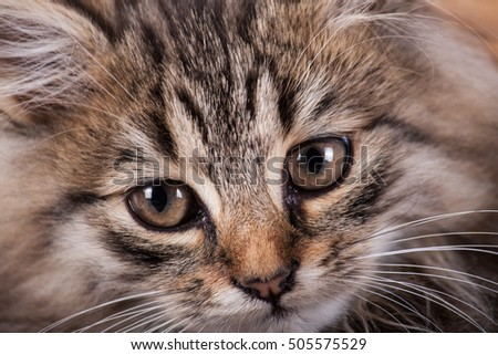 Fluffy kitten close up on wood background. Pets