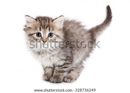 Fluffy kitten stands with a large tail and looking at the camera (isolated on white)