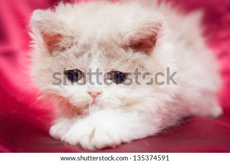 Fluffy little kitten with big sad eyes playing on a bright red background. Breed of cat is a Selkirk Rex. It has curly hair.