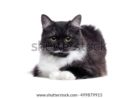 Fluffy mixed breed cat lying on white background
