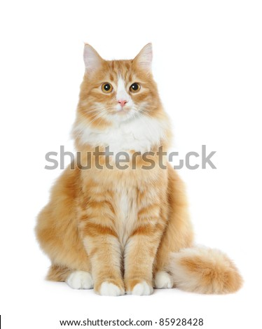 Fluffy mixedbred cat sits isolated on white and looking at camera - stock photo
