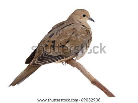 fluffy mourning dove perched on a branch. turtledove fluffs its feathers to keep warm from the cold. dove is isolated with a white background. - stock photo