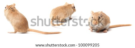 fluffy mouse isolated on white background. Gerbillinae