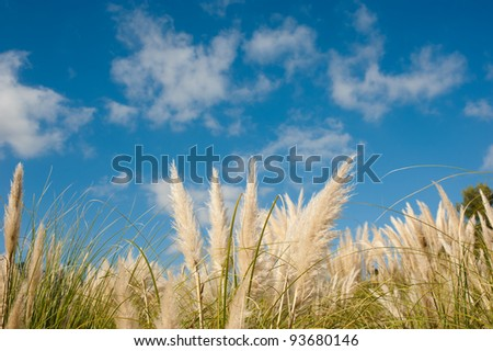 Fluffy pampas grass feathers against blue sky