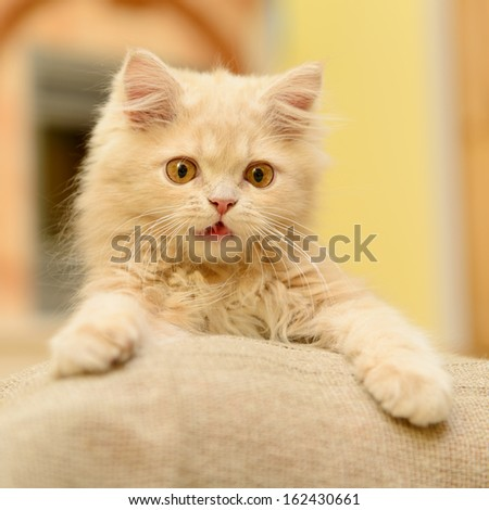 fluffy Persian kitten playing in the room - stock photo