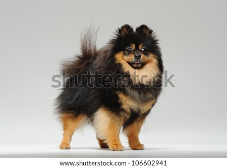 Fluffy pitz standing on a gray background and looking at the camera - stock photo