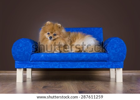 fluffy Pomeranian playing on the couch - stock photo