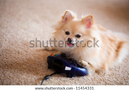 Fluffy Pomeranian puppy playing a computer game with a joystick. - stock photo