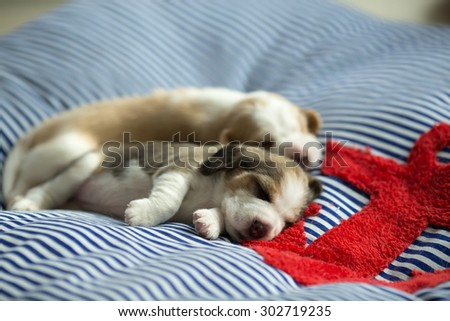 Fluffy Puppy Beagle's taking a nap on the comfy bed at the afternoon time (Soft Focus) - stock photo