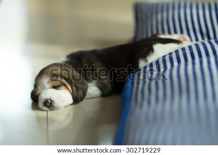 Fluffy Puppy Beagle's taking a nap on the comfy bed at the afternoon time (Soft Focus, Focus at the eyes) - stock photo