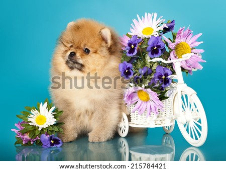 fluffy puppy pomeranian  and flowers - stock photo