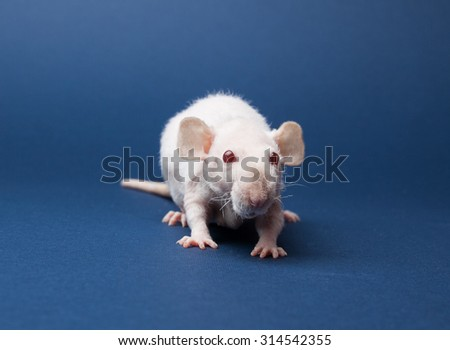 Fluffy rat with red eyes on a blue background - stock photo