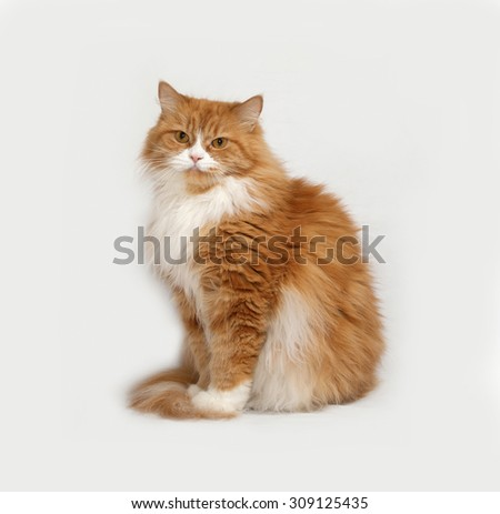 Fluffy red and white cat sitting on gray background - stock photo