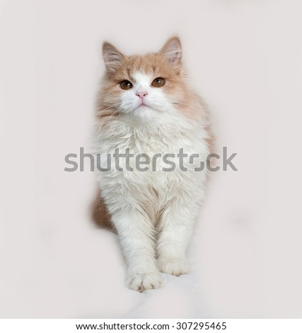 Fluffy red and white kitten sitting on gray background