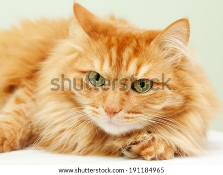 fluffy red  cat   - stock photo