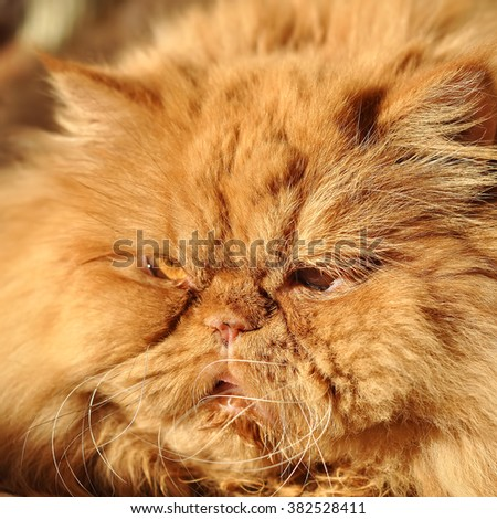 fluffy Red cat lying and sleeping on the sofa - stock photo