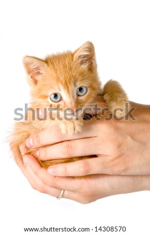 Fluffy red kitten in human hands isolated over white background