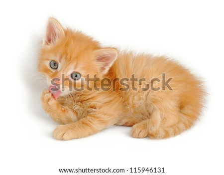 fluffy red kitten licking his paw, isolated on white - stock photo