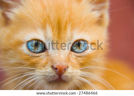 Fluffy red kitten with blue eyes closeup portrait