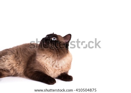 Fluffy Siamese cat on a white background