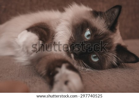 Fluffy Siamese cat with blue eyes lying on sofa indoor - stock photo