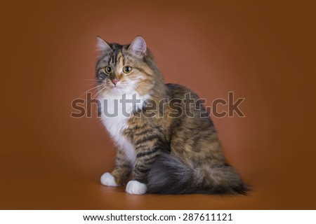 fluffy Siberian cat isolated on a brown background - stock photo