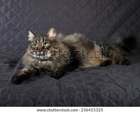 Fluffy Siberian tabby cat lying on black quilt - stock photo