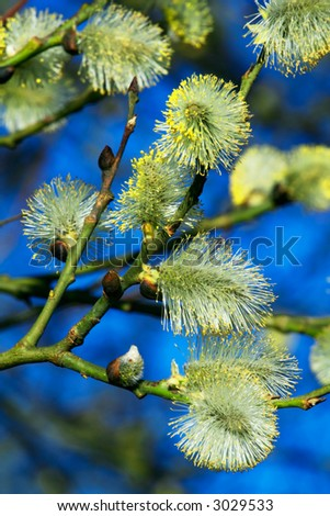 Fluffy silky catkins close-up - stock photo