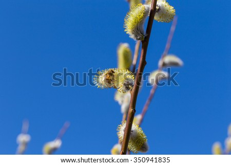 Fluffy soft willow buds in early spring