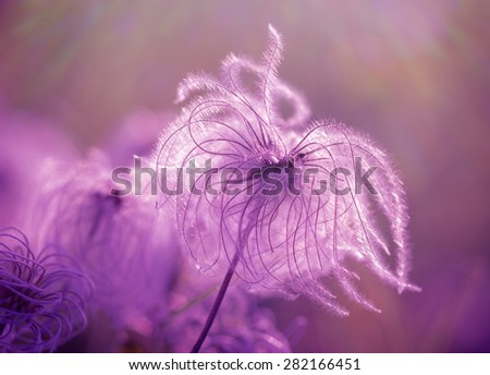 Fluffy - softness flower lit by sun rays, fluffy flowers made with color filters - stock photo